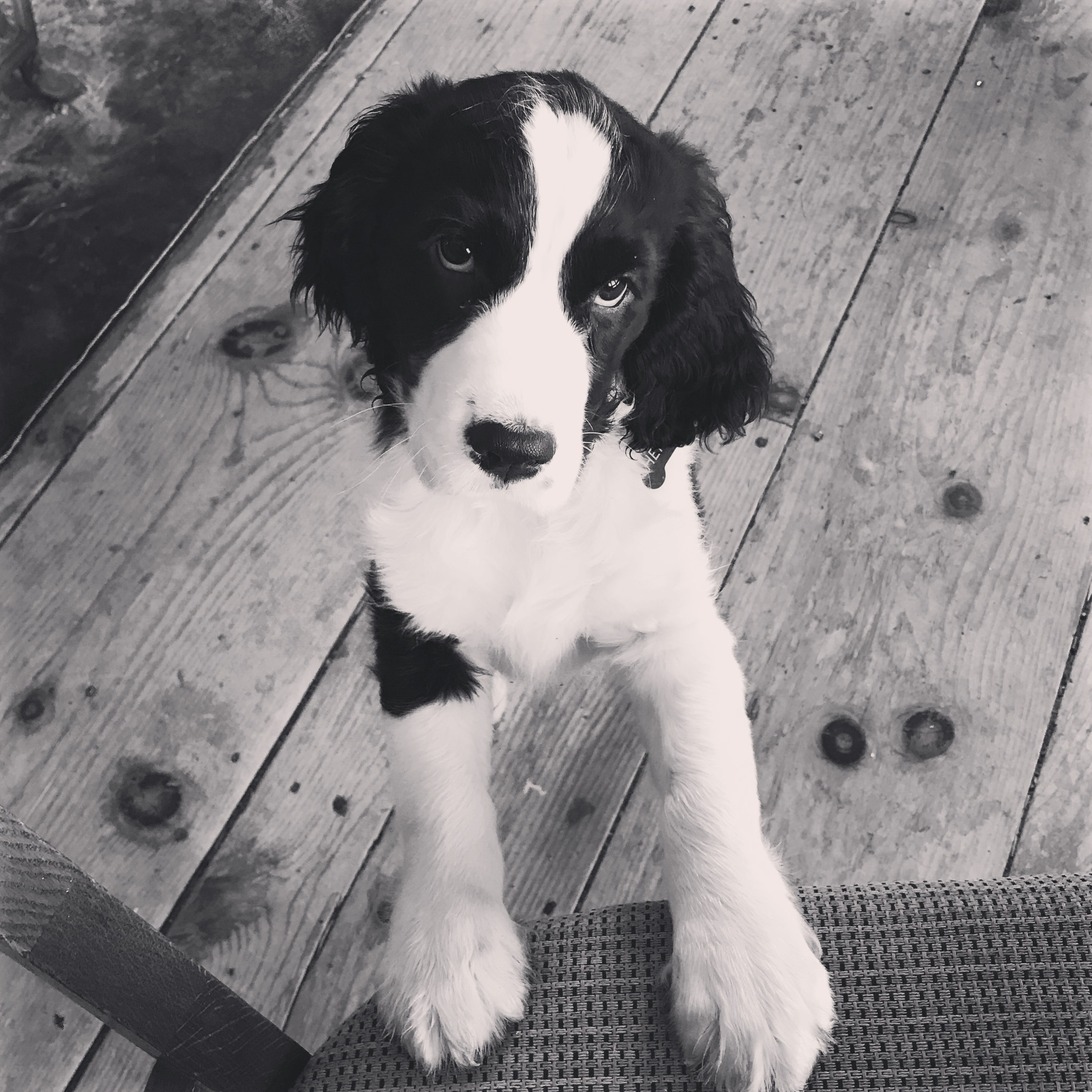 Henry as a puppy