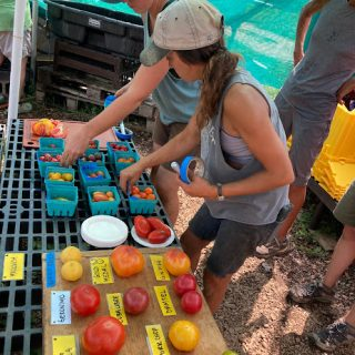 photo of two crew members setting up the tomato tasting - lots of labeled tomatoes